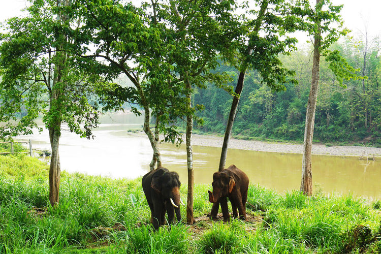 2017 Animal Themes Animals In The Wild Asian Elephant Beauty In Nature Elephant Field Grass Green Color Growth Landscape Laos Luang Phabang Luang Prabang MAHOUT LODGE Mammal Mekong River Nature Outdoors Scenics Tree Water ラオス ルアンパバーン 象