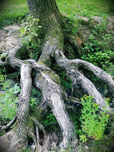 Elven Root Tree Root