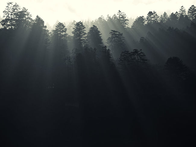 Beauty In Nature Coniferous Tree Day Environment Fog Forest Growth Hazy  Land Landscape Nature No People Non-urban Scene Outdoors Plant Scenics - Nature Silhouette Sky Tranquil Scene Tranquility Tree