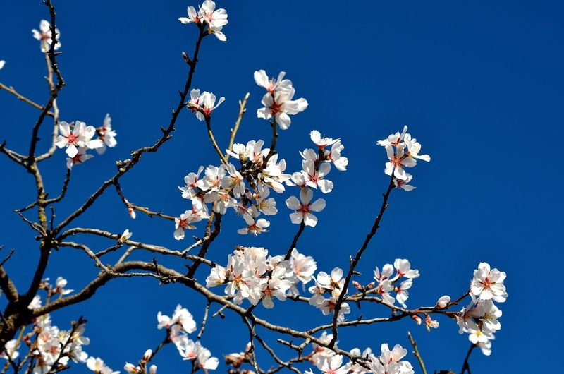 Low angle view of almond tree against clear blue sky