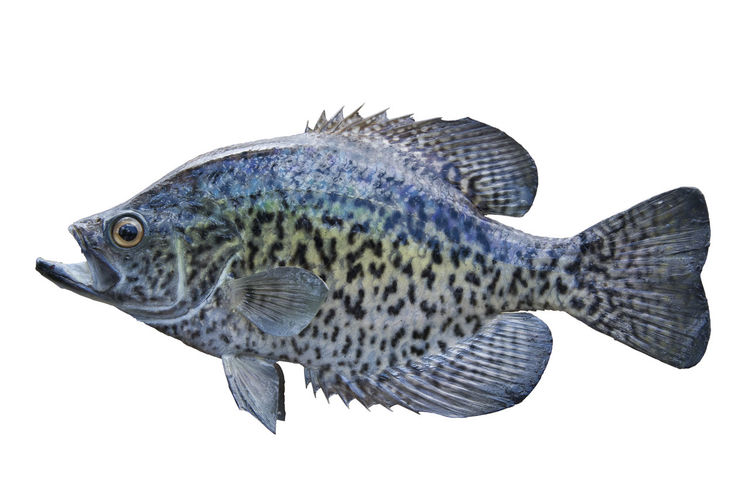 Close-up of crappie over white background