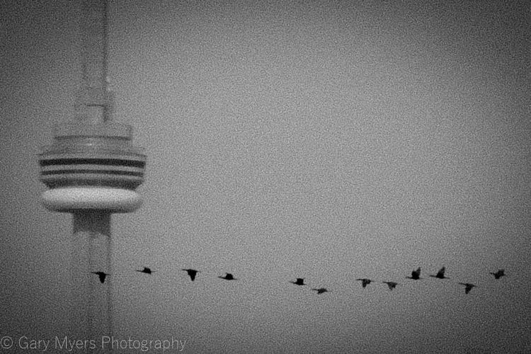 Bird CN Tower Flock Of Birds FlyBy Flying Migrating Sky Togetherness Grain