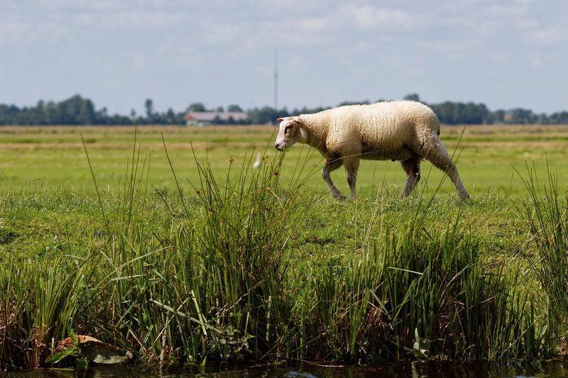 Sheep Dike Dutch Countyside Dutch Landscape Landscape
