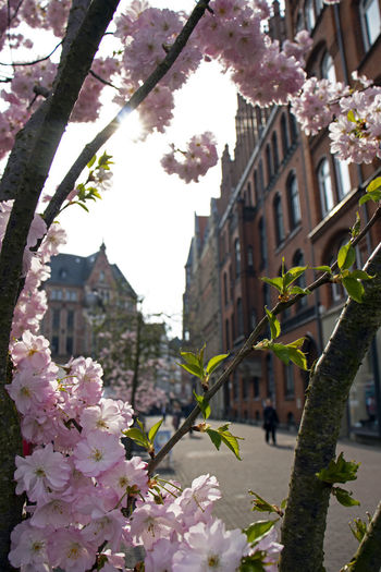 Beautiful colors, what do you think? Architecture Beauty In Nature Blossom Branch Building Building Exterior Built Structure Cherry Blossom Cherry Tree Day Flower Flower Head Flowering Plant Focus On Foreground Fragility Freshness Growth Nature No People Outdoors Pink Color Plant Springtime Tree Vulnerability