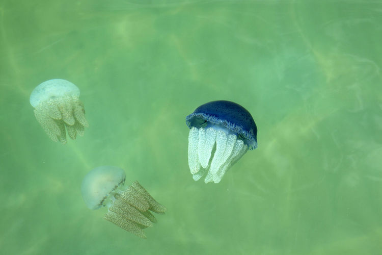 Animal Animal Themes Animal Wildlife Animals In The Wild Beauty In Nature Close-up Day Green Color Group Of Animals Invertebrate Jellyfish Marine Nature No People Outdoors Sea Sea Life Swimming UnderSea Underwater Water