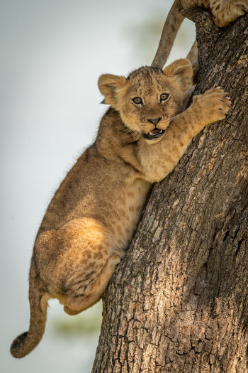 Portrait of lion cub climbing on tree trunk