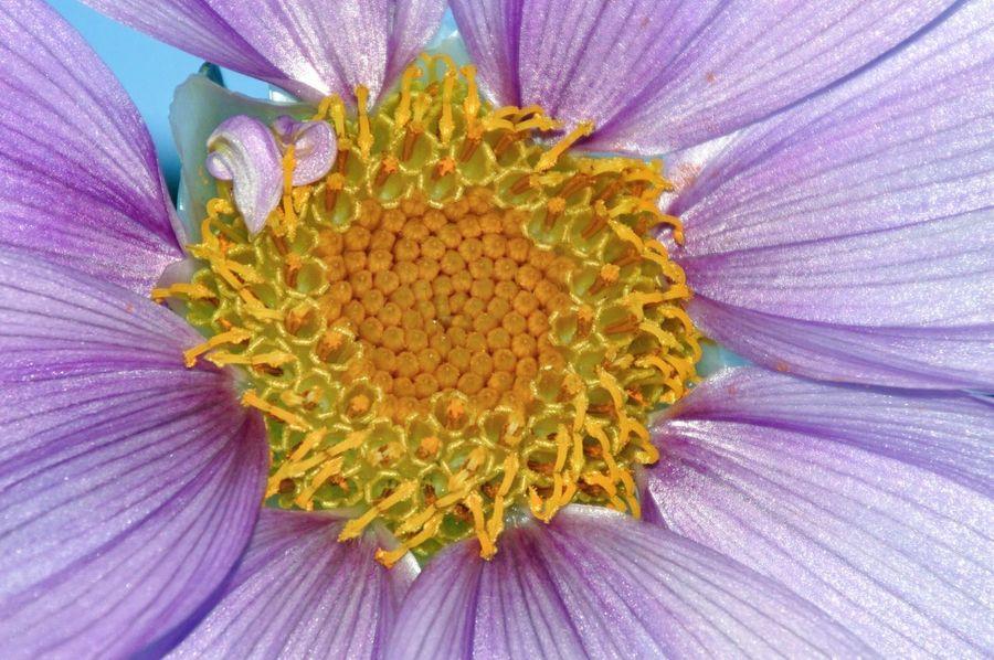 皇帝ダリア Tree Dahlia Flowers Macro_collection Nature_collection