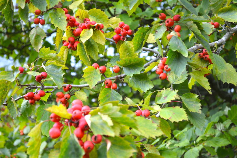 Tree Agriculture Beauty In Nature Close-up Crab Apple Tree Crab Apples Day Food Food And Drink Freshness Fruit Green Color Growing Growth Healthy Eating Nature No People Outdoors Red Tree