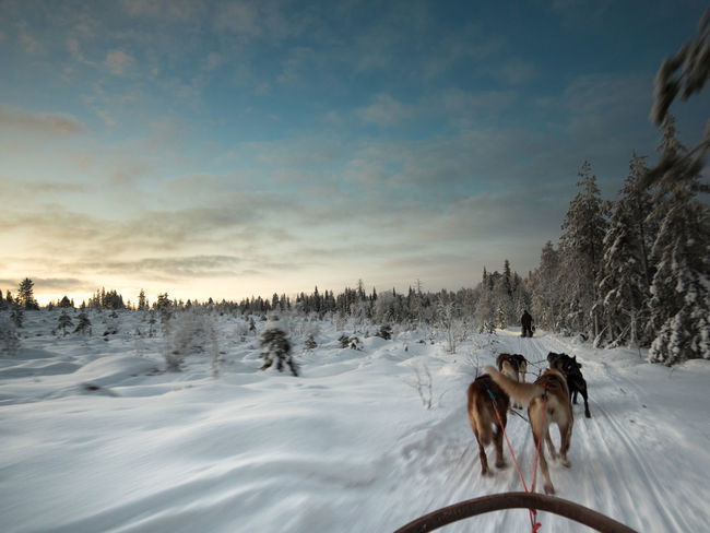 Animal Themes Cold Temperature Husky Nature No People Sled Snow Winter