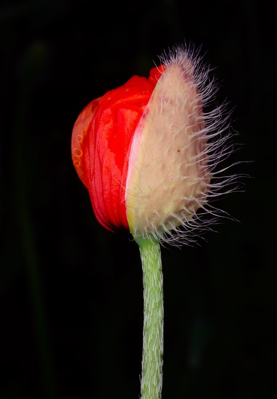 red, vulnerability, fragility, close-up, flower, freshness, flowering plant, beauty in nature, plant, flower head, inflorescence, petal, growth, no people, plant stem, nature, focus on foreground, studio shot, poppy, black background, sepal