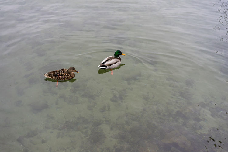 two duck in