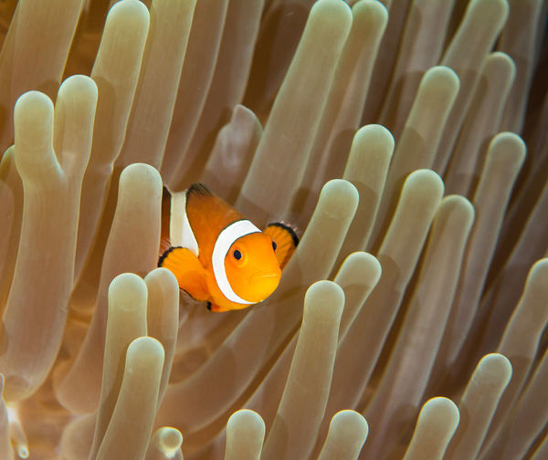 High angle view of clown fish by coral