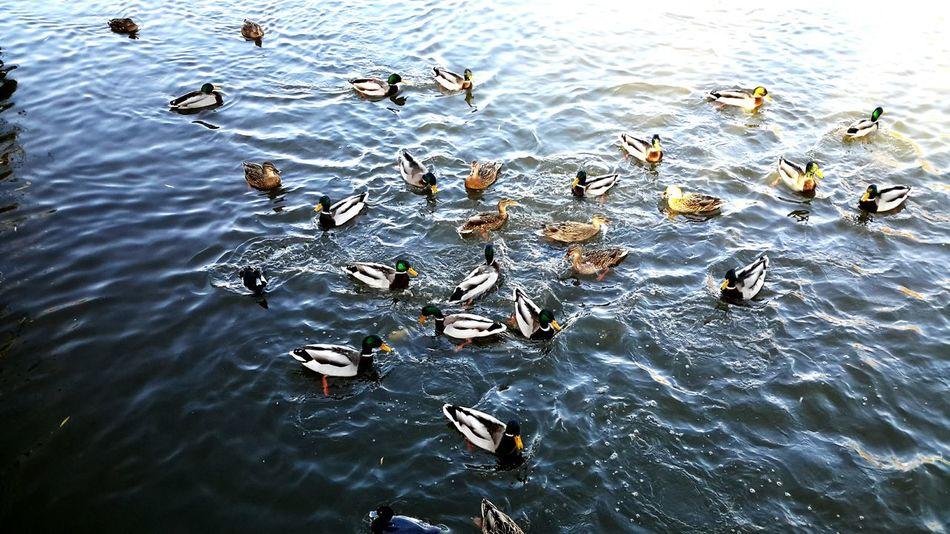Animal Themes High Angle View Feeding Ducks NatureReserve