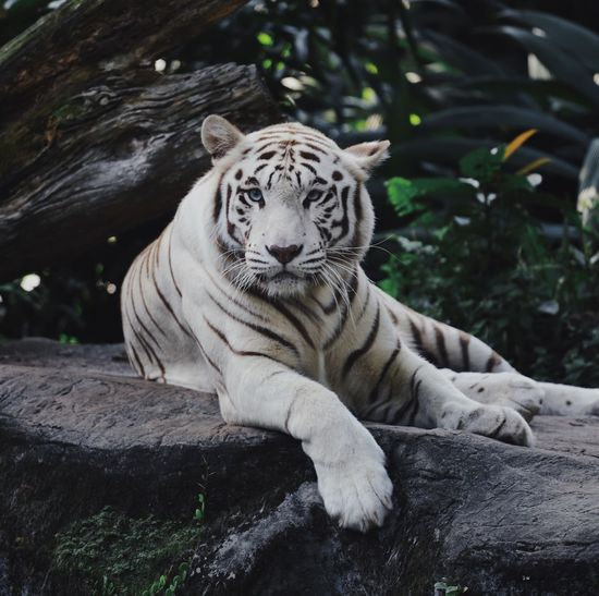 View of a tiger on rock