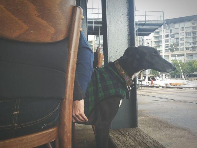 Greyhound at breakkie spot