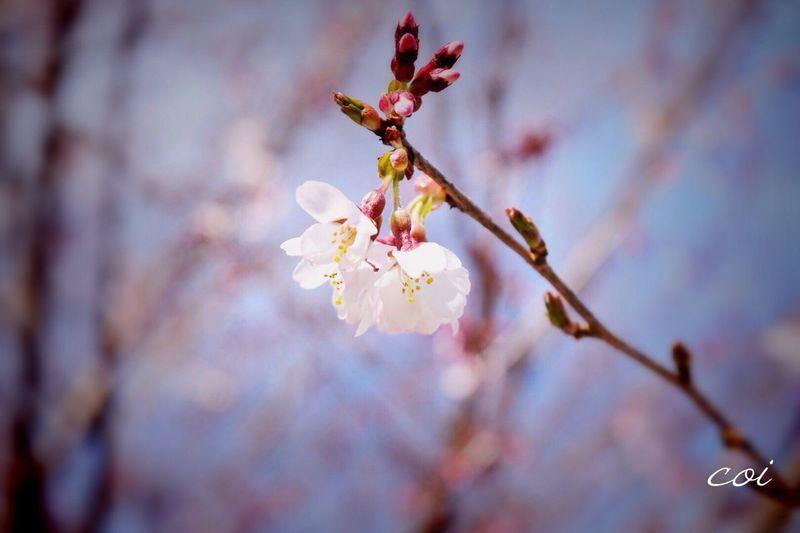 神代桜の種が宇宙に行って戻って咲いた桜。普通は花びらは5枚、宇宙帰りの桜花びら6枚をつけるそうです。訪れたら探して見てくださいな。ラッキー🌸 EyeEm Best Shots - Nature 神代桜 山梨県 Spring Japan 山高神代桜