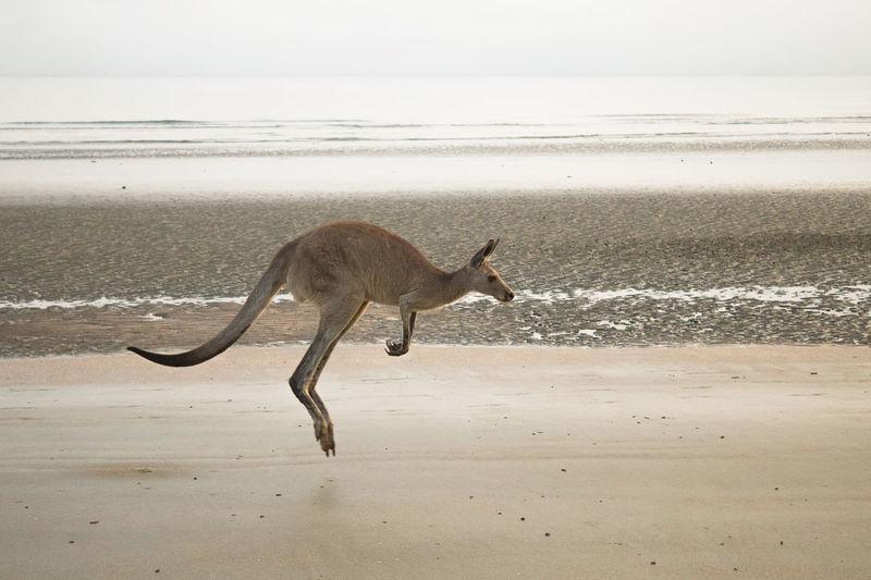 Full length of kangaroo jumping at beach