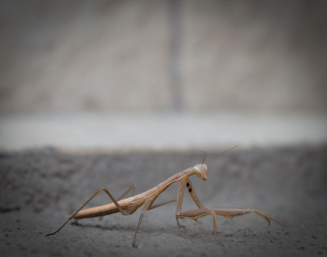 Close-Up Of Praying Mantis On Field