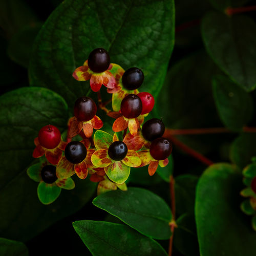 Close-up of berries growing outdoors