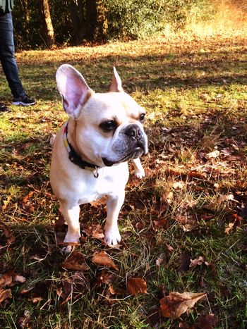 Frenchbulldog Park Eppingforest London Dogs