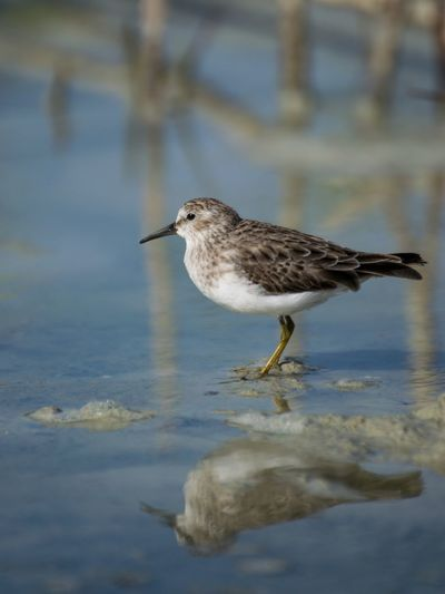 Sandpiper perching on a lake