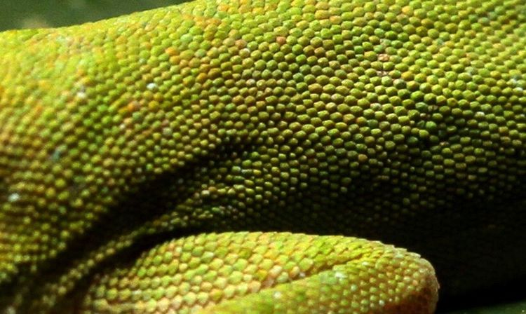 Close-up Reptile One Animal Green Color Nature No People Animal Themes Animals In The Wild Animal Scale Outdoors Maximum Closeness Lizard Skin