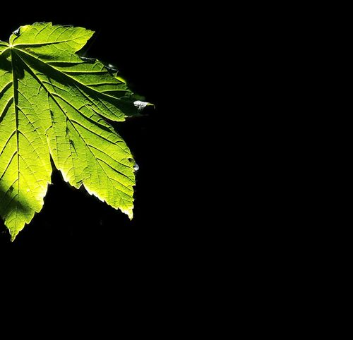 AntiM Black Background Green And Black Leaf 🍂 Beauty In Nature Black Background Close-up Copy Space Freshness Green Color Growth Leaf Leaf Vein Nature Night No People Outdoors Plant
