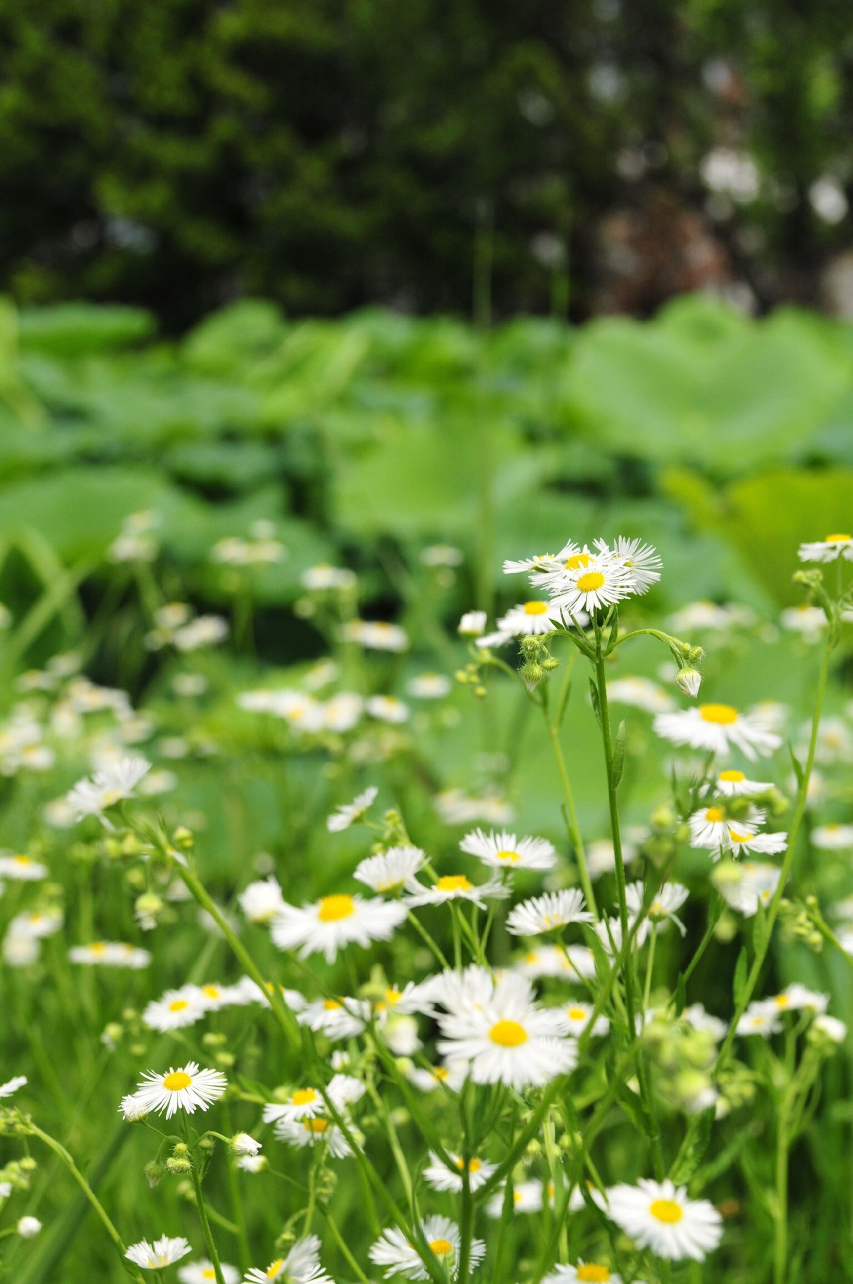 flower, freshness, fragility, growth, petal, beauty in nature, blooming, white color, flower head, plant, daisy, nature, field, green color, focus on foreground, stem, wildflower, in bloom, day, selective focus