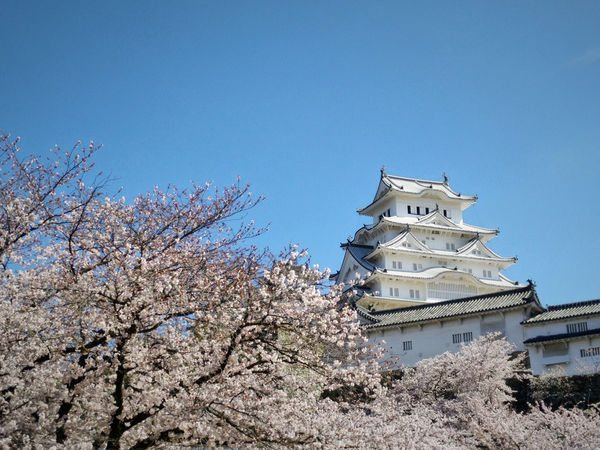 Sakura and the White Castle Architecture Blue Built Structure Castle Cherry Blossoms Clear Sky Day Himeji Himeji Castle In Bloom Japan Low Angle View Outdoors Sakura Sky Tourism Travel Travel Destinations Travel Photography Traveling Tree