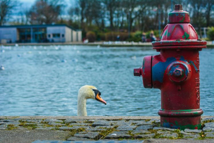 My life is like a romantic comedy.. Except there's no romance, and I'm the only one laughing at myself........... Taking Photos Photography Nikon D5200 EyeEm Gallery Bird Photography Wildlife & Nature Swan Fire Hydrant Nature Photography Wildlife Photography