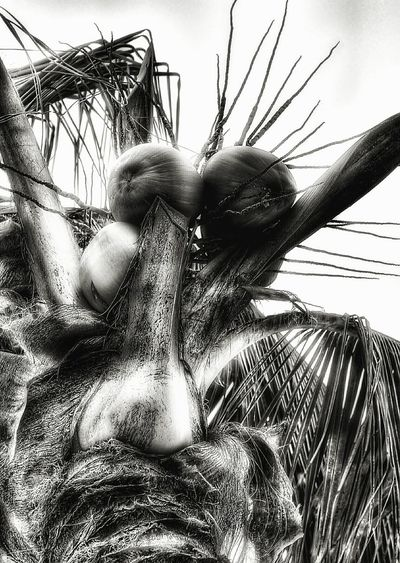 Coconuts Palm Tree Palm Frond Letgodhandleit From My Point Of View From My Eyes To Yours Tropical Black And White Black & White Stalk Beach Drama Big Nose Faces In Nature Nature Photography Nature Coconuts In A Palm Tree Nature Porn Tree Look Up Looking Up Shaft Look Up To The Sky TreePorn Tree Porn