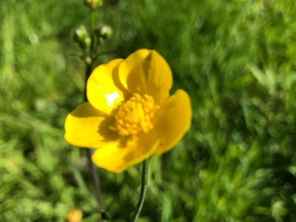 Can't believe it's a butter cup Yellow Plant Flower Flowering Plant Vulnerability  Beauty In Nature Fragility Freshness Petal Flower Head Close-up Focus On Foreground