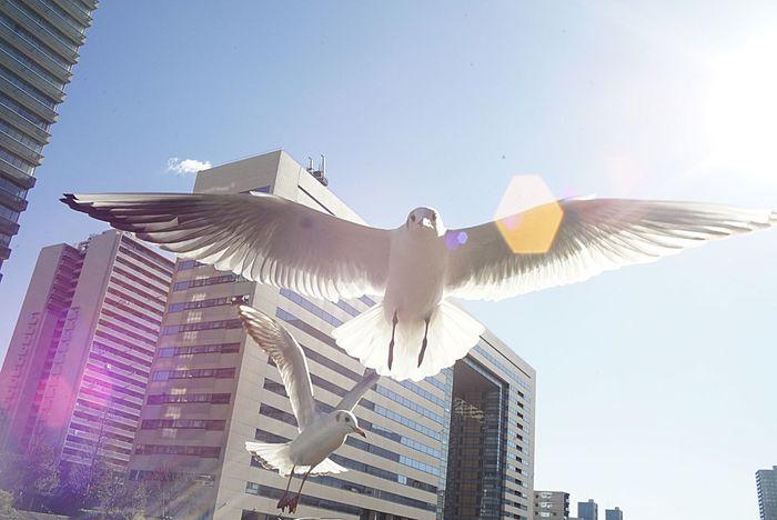 Flying Spread Wings Bird Animal Themes Sky Wings Gulls In Flight Wing Gull オールドレンズ部 Eye4photography  EyeEm Gallery Taking Photos InJapan Nature City Japan Lens Flare