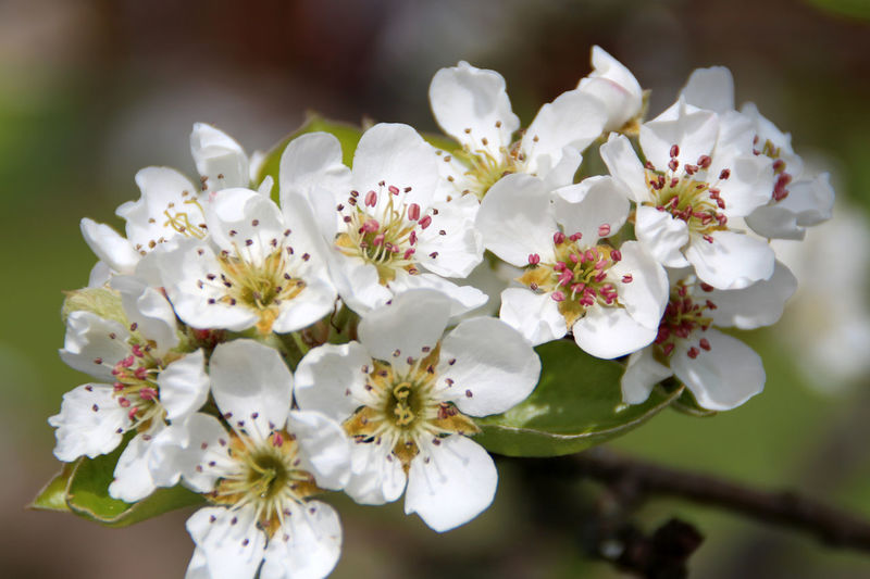 pear blossom Beauty In Nature Blooming Blossom Botany Day Focus On Foreground In Bloom Nature Pear Blossom Pear Blossoms Petal Pollen Selective Focus Spring Springtime Stamen Twig White White Color