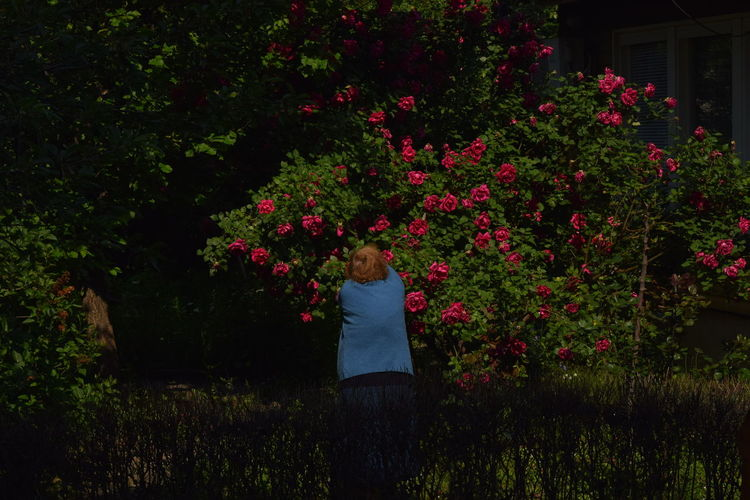 Rear view of woman collecting roses in yard