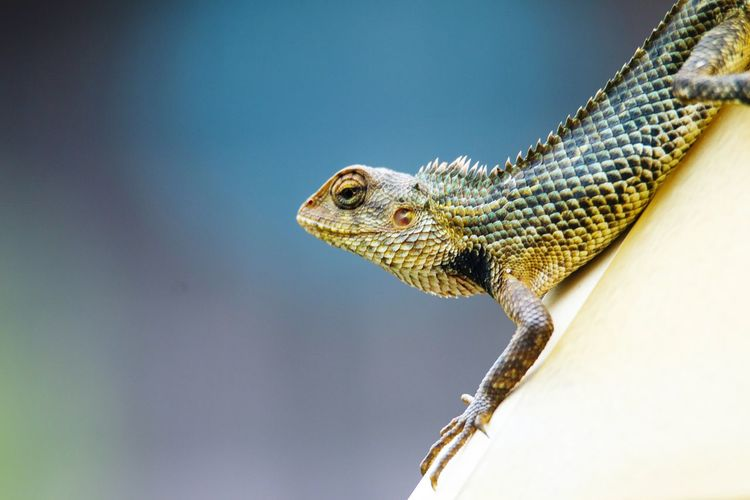 Close-up side view of a lizard