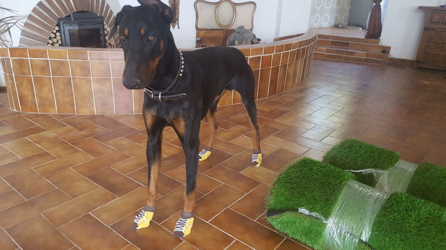 Domestic Animals Indoors  Mammal Full Length Pets Day Animal Themes No People Home Interior Doberman  Dobermann Dog In The House Socks Dog In The Socks Looking At Camera Eyem Best Shots