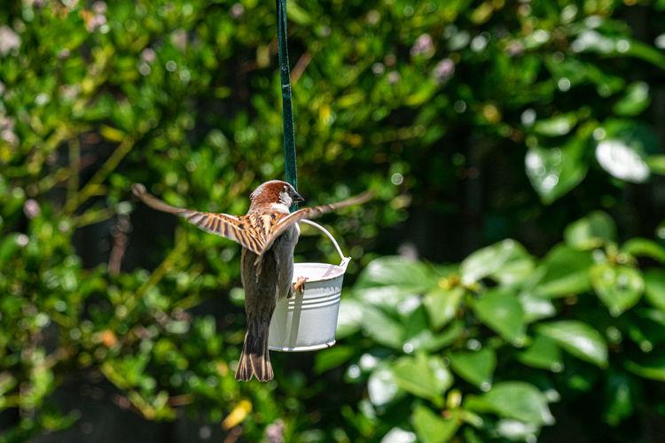 House sparrow - passer domesticus - landing on garden bird feeder