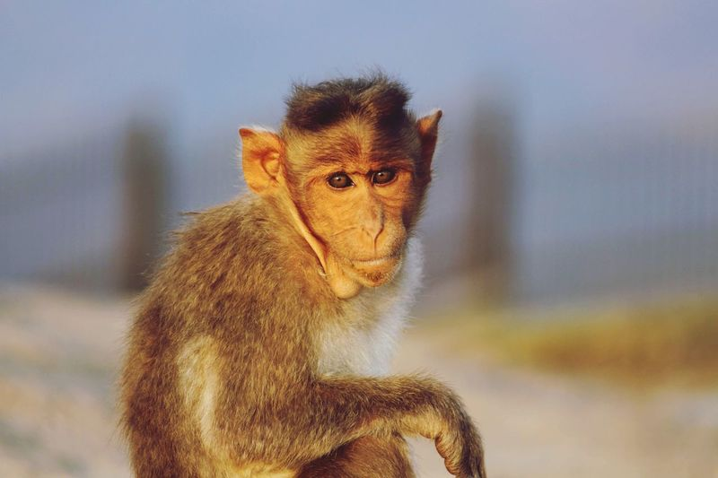 Portrait of monkey looking away outdoors