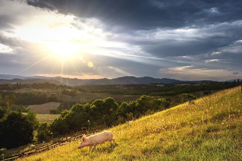 Pig Walking On Grassy Field Against Sky