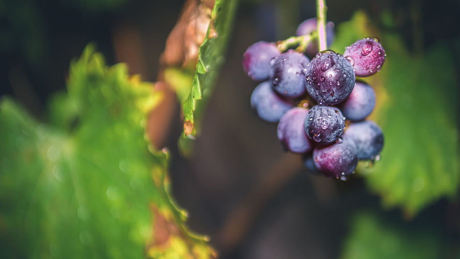 Close-Up Of Fresh Grapes Hanging Outdoors