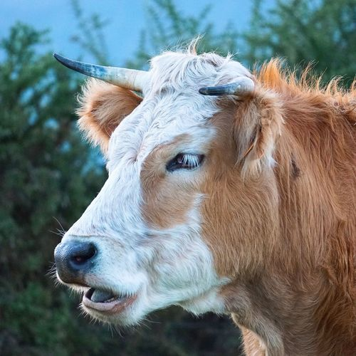 the cow in the mountain Cow Animal Portrait Brown Eyes Hair Ears Grass Green HEAD Animal Themes Meadow Farm Field Wildlife Wild Herbivorous Nature Landscape Backgrounds Wallpaper