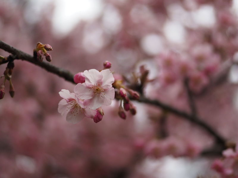 Plant Beauty In Nature Blossom Nature Tree Springtime Flower Head Beauty Cherry Tree No People Flower Freshness Taking Photos Taking Pictures EyeEm Nature Lover Olympus Bokehlicious Cherry Clowdy Outdoors Singlefocus Bokeh Bokeh Photography 単焦点レンズ 解放