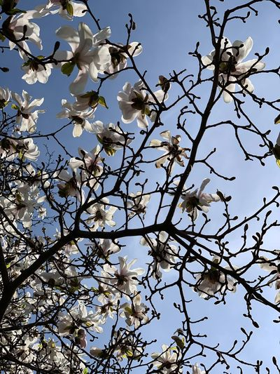 Low angle view of flowering tree against clear sky