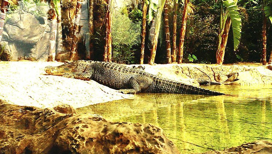 Krokodil Krokodyl Krokodilstränen Aligator Aligators Puerto De La Cruz LoroParque Loro Zoo Tierpark