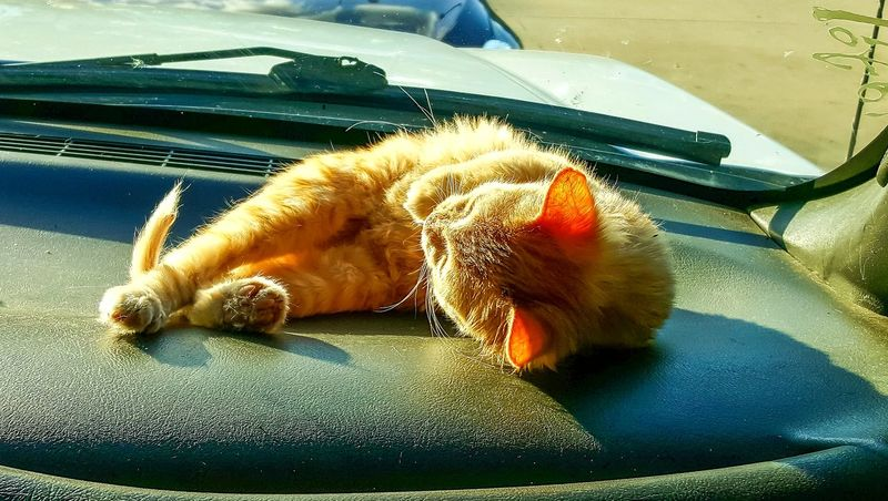 Car Transportation Mode Of Transport Land Vehicle Car Interior Pets Mammal Domestic Animals Indoors  No People Animal Themes Car Wash Close-up Day UnderSea Cat Cat Sun Bathing Sleeping Animal Pet Cat In Window Car Windshield Dashboard Animal Transport Riding In The Car