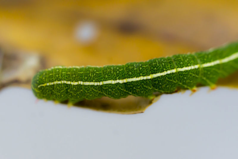 Botany Caterpillar Close-up Extreme Close Up Extreme Close-up Green Color Inchworm Insect Macro Macro Insects Macro Photography Macro_collection Nature Nature Photography Nature_collection