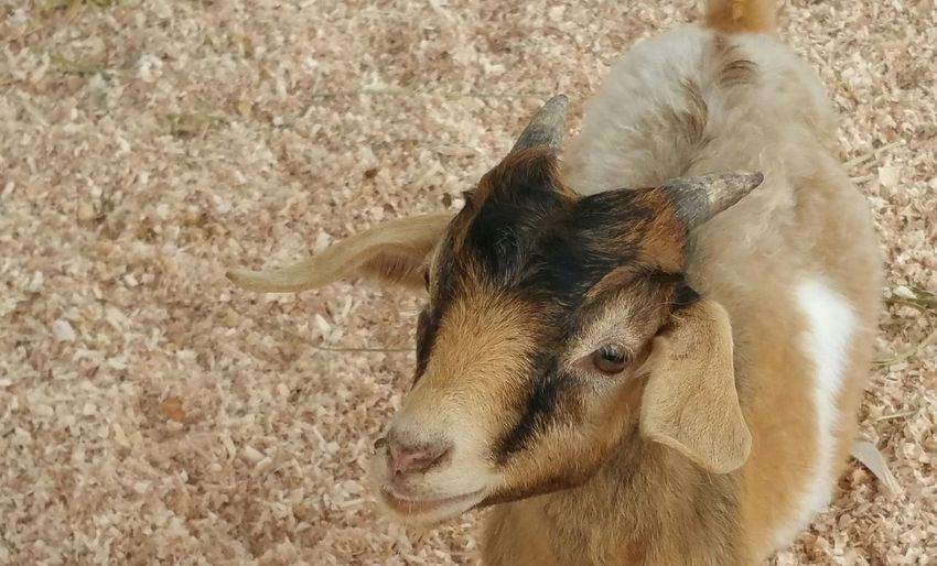 One Animal Animal Themes Domestic Animals Animal Head  Mammal Close-up Dog Pets Animal Hair Zoology Livestock Animal Eye Day Outdoors Herbivorous No People Looking Goat Check This Out Pigmygoat Nature Small Animal Cute Animal Still Life