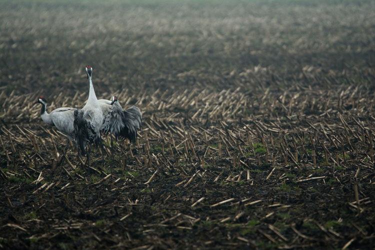 Gray herons walking on field