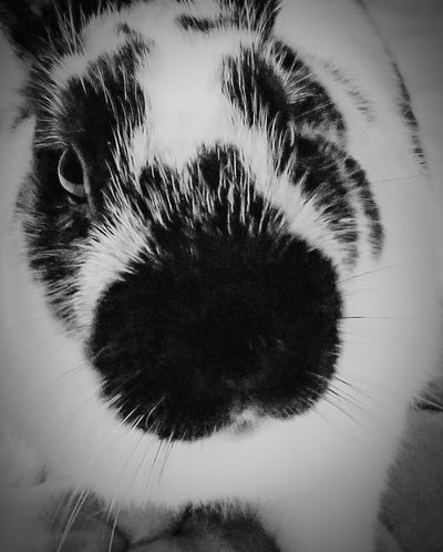 Cuddles the bunny Animal Themes High Contrast Portrait Animal Animals Animal Photography Bunny  Rabbit Pets Close-up Close Up Closeup Portrait Portraits Pet Portraits Blackandwhite Black And White Face Focus On Foreground Focused Black Color Close-up No People Portrait Nature Day Outdoors